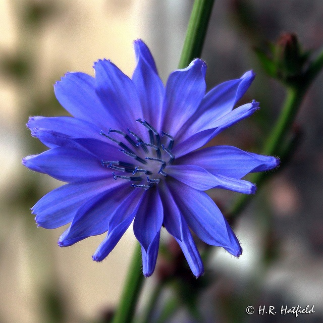 -BLEN flores de Bach- Chicory