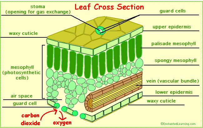 Leaves And Leaf Anatomy Enchantedlearning Com Leaf Structure Photosynthesis Plant Science