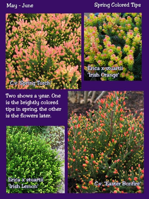 Growing Heath And Heather For Year Round Color Year Round Colors Heather Gardens Spring Colors