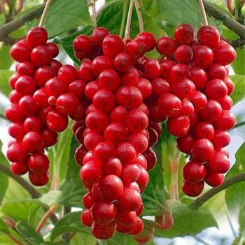 Schisandra chinensis 'Sadova nr 1', Fjärilsranka. Ukrainsk sort.  Växer långsamt i början.  Ger rikligt med röda ätliga bär om pollineringssort finns.  Bladen kan också torkas och användas till te. I fjärran Östern har fjärilsrankan varit en av de populäraste medicinalväxterna efter ginseng.  Zon III-IV.