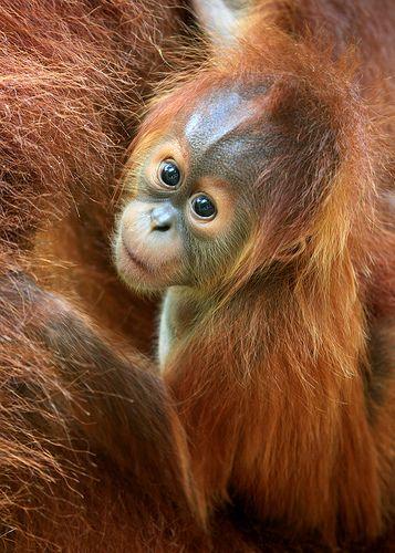 Baby Orangutan by Rob Kroenert, via Flickr