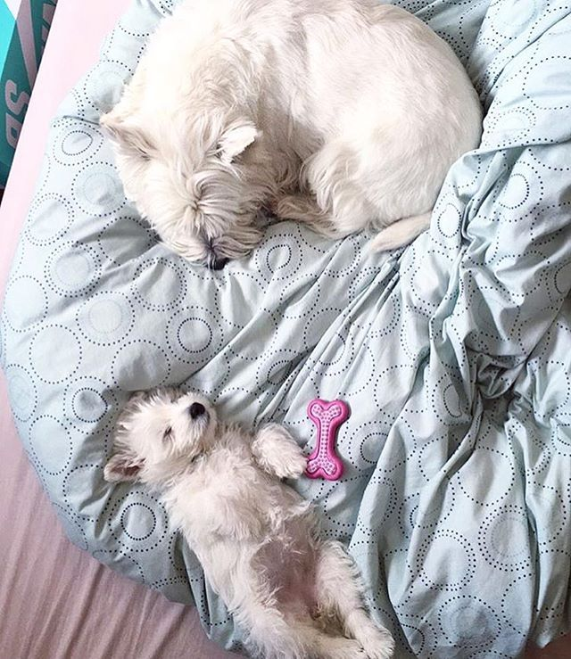 """CONGRATS 〰〰〰〰〰〰〰〰〰 """"Baby sitting my little sista"""" Cr: @astro_spacedog 〰〰〰〰〰〰〰〰〰〰 Please help us to REACH 77K by following @westiegram and TAG your friends on our new post everyday Million THANKS ❤ 〰〰〰〰〰〰〰〰〰〰 Keep following @westiegram and pick your best photo with the tag #westiegram 〰〰〰〰〰〰〰〰〰〰 ⚠⚠⚠⚠⚠ Edited by @westiegram ®™"""