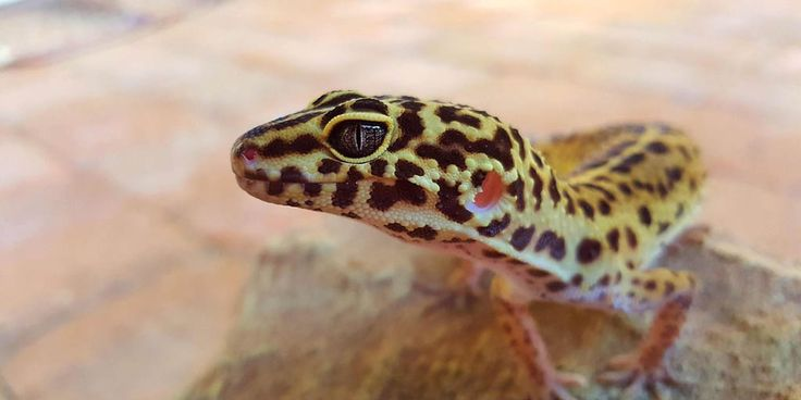 Defaecatorial behaviour in Leopard geckos