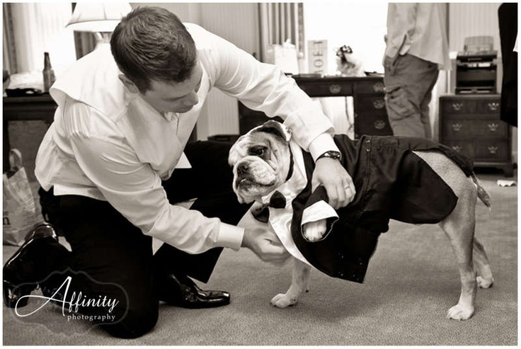 Otis, the couples' bulldog, putting his tuxedo on to be part of the wedding ceremony.