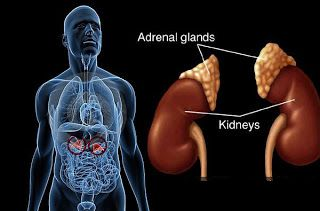 Anatomia si rolul glandelor suprarenale.
