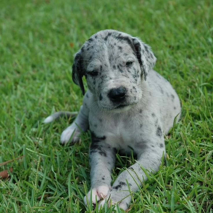 merle great dane puppy. I WANT. Most beautiful dog ...