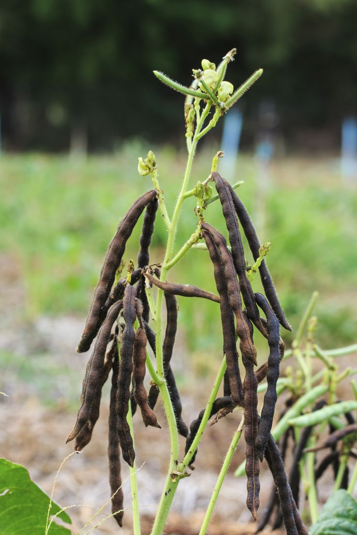 Did you know that what we know as bean sprouts are more than likely mung bean sprouts? What are mung beans and what other mung bean information can we dig up? Click on this article to find out more about the amazing plant.