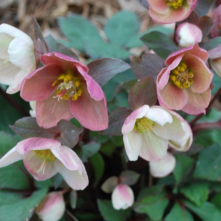http://shop.unquadratodigiardino.it/ellebori-e-altri-fiori-invernali/757-helleborus-pink-frost-.html