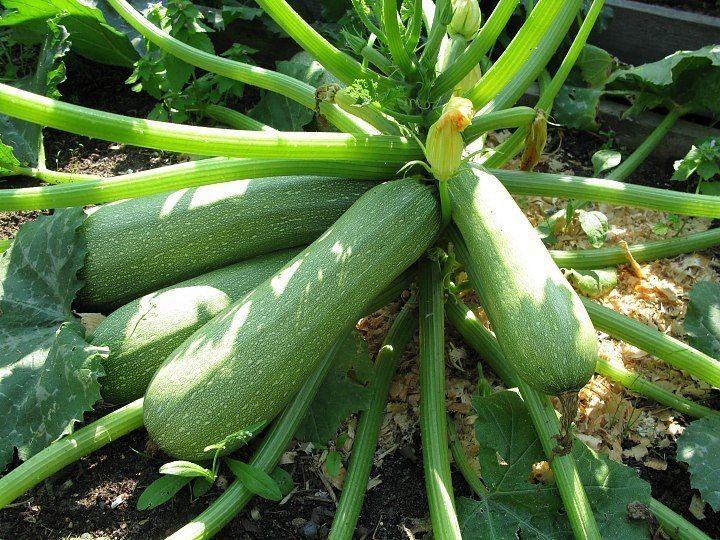 Сейте семена ребром... и еще хитрости выращивания кабачков