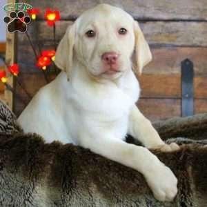 Labrador Retriever – Yellow Puppy in Ronks, PA