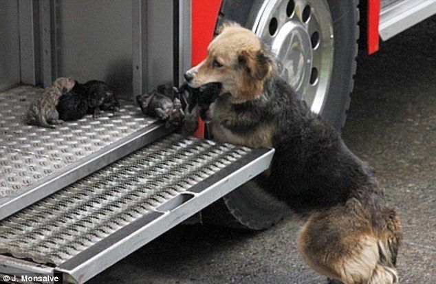 Love: A heroic mother dog saves her ten-day-old puppies from a blazing house fire in Santa Rosa de Temuco, Chile. After entering the fire & smoke filled home 5 times, she gently placed each pup in a fire truck compartment, and then covered them with her body. One pup was so badly burned that it passed away at a local vet's office where mother and pups were taken…