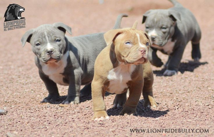 Chiot puppy puppies American bully Giant XL XXL Bully Pitbull a vendre For sale France Belgique Kennel Élevage Lion Pride Bully Europe Rednose Tricolor Red White Blue Fawn Black WWW.LIONPRIDEBULLY.COM