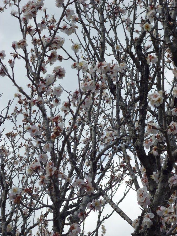 Sakura by Renie A. Priyanto - Flowers Flower Gardens ( japanese garden, japan, sakura, japanese gardens, sakura flowers )