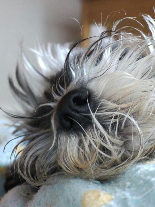 Nothing better than a wet, black schnauzer nose and tickley beard waking me up in the morning!