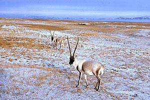Tibetan Antelope - Wildlife Conservation Society - Tibetan antelopes, also known as chiru, once grazed in magnificent herds of up to thousands of individuals in the high mountain steppes and semi-desert areas of the Tibetan Plateau. This windswept region includes China's provinces of Qinghai and Xinjiang and Tibet Autonomous Region as well as a small part of northern India.