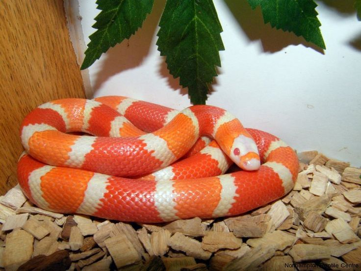 Every Milk Snake is a Kingsnake; but not every Kingsnake is a Milk SnakeMilk Snake