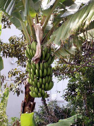 Rhum arrangé mangue banane.  Recette créole traditionnelle.
