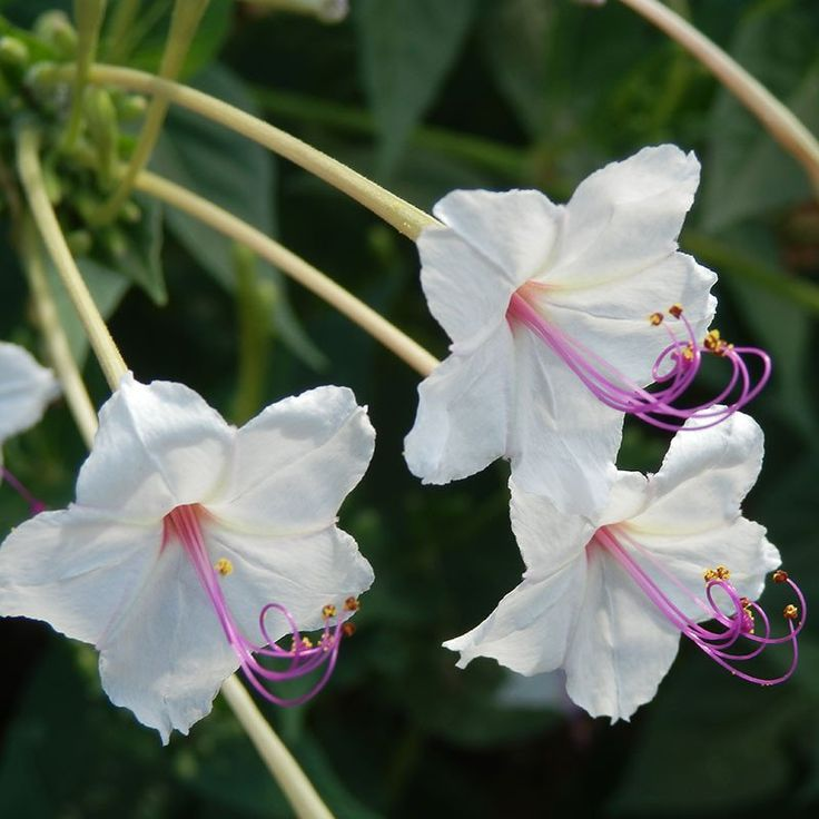 "Mirabilis longiflora - Angel's Trumpets, Sweet Four O'Clocks, Maravilla, Fairy Trumpets - Another plant for your night garden, this 3 ft. tall perennial has star-shaped 4"" long tubular flowers, 1/2"" in diameter, with magenta stamens. Angel's Trumpets open at dusk and fades around ten o'clock the next morning. Sweetly scented, attracts hawkmoths. Cold stratify. Zones 5-8."
