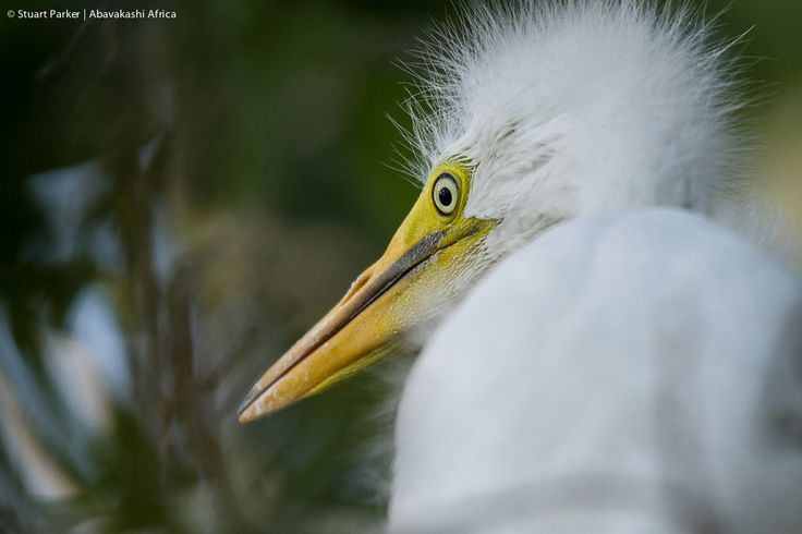 A young great white egret at the heronry near Xugana Island Lodge in the Okavango Delta