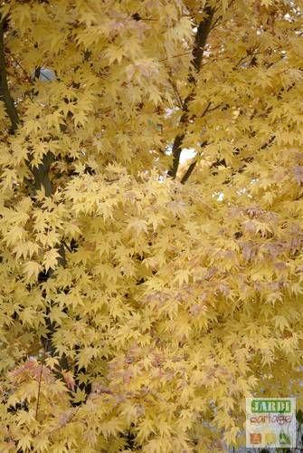 L'érable du Japon (Acer palmatum) est un magnifique petit arbre originaire du Japon et de Corée. Il offre en automne un spectacle inoubliable lorsqu'il se couvre de jaune, orange ou rouge suivant la variété. Sa culture en pot est facile dans le cas des variétés naines.On l'utilise alors pour illuminer les coins sombres du jardin et les cours coincées entre immeubles. Comment le planter en pot ? http://www.jardipartage.fr/planter-erable-en-pot/