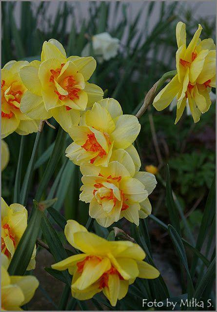 Kolory ogrodu.: Kwietniowe chłody.