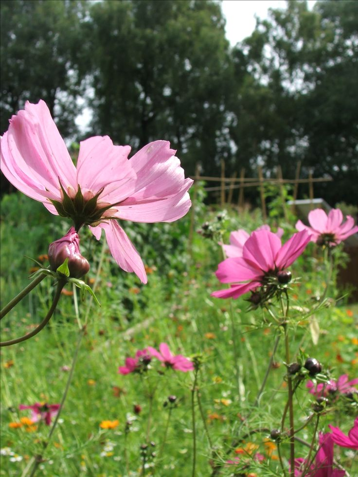 Cosmos Flower meaning: Joy in love and life