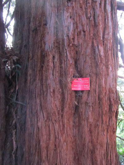 Ecorce du Sequoia sempervirens