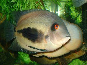 5 x Uaru amphiacanthoides 1.5 South American Cichlid Tropical Fish