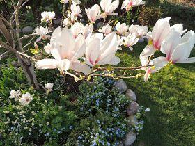 Magnolia, förgätmigej, fänrikshjärta