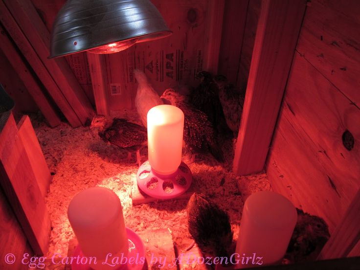 Brooder Safety Fear The Heat Lamp With Images Chicken Brooder Brooder Heat Lamps
