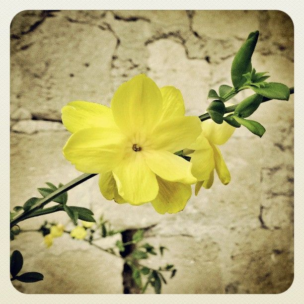 Jasminum nudiflorum (Gelsomino di San Giuseppe) - By squeezedmind on Instagram #flower #nature #yellow