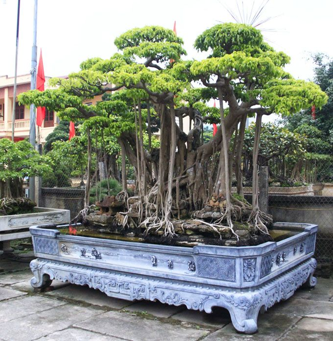 some ficus bonsai trees in a vietnamese bonsai show how would you like this as a garden decoration - Ficus Trees
