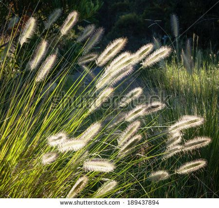 Beautiful flower spikes of Australian native Dwarf Foxtail Grass (Pennisetum alopecuroides) glowing in late afternoon sunlight at the end of summer near a bush path - stock photo
