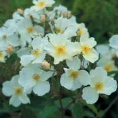 Anglické růže - Bílé, krémové - Kew Gardens