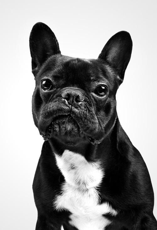 Pet photograph of a French Bulldog, bringing out personality | #Personality #Pet #Photography #French #Bulldog #Animal #Canine #Frenchie #Dog #Puppy #Black #BlackAndWhite #Detail #Studio #Crisp #Contrast