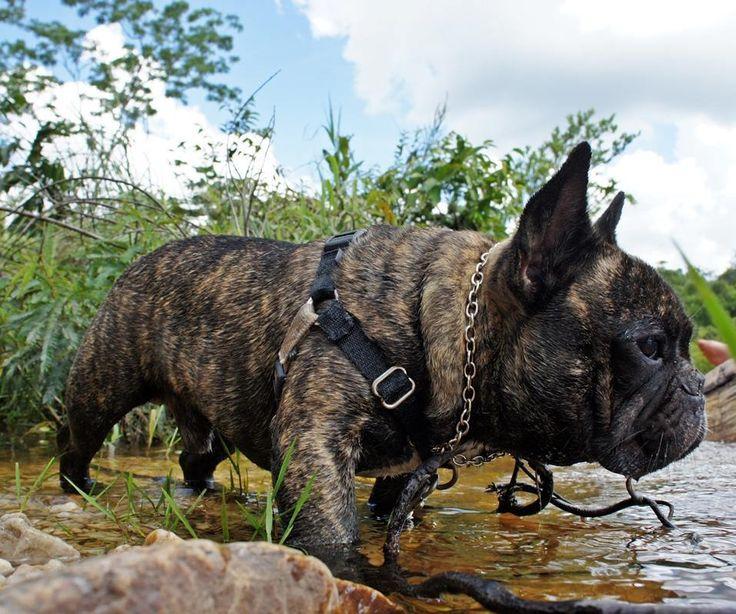 """Se queremos motivar o nosso cachorro a aprender alguma coisa ou  mudar seu comportamento as RECOMPENSAS são fundamentais!   Porém o que é recompensa """"valor ouro"""" para alguns cães nem sempre é para todos.  Para o Bento as melhores recompensas na ordem são:  1 - Passeio!  2 - Comida! (queijo é uma recompensa valor ouro para ele)  3 - Carinho!  . Agora conte para a gente quais são as 03 (três) super recompensas ultra motivantes para o seu cão! Queremos saber!  #TreinoPositivoSempre…"""