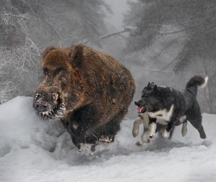 Karelian Bear Dogs hunting a Wild Boar.