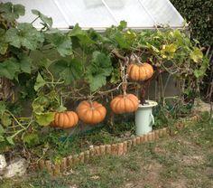 La  courge muscade de Provence biologique: C'est une variété ancienne qui est toujours cultivée en Provence. Elle produit de très gros fruits côtelés à chair rouge orangée. Sa chair est épaisse et savoureuse.