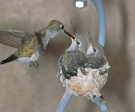 Duncraft.com: Hummingbird House. Looks like they have almost outgrown their nest!