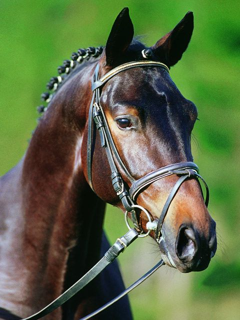 Grafenstolz - The Stallion Company - Trakehner