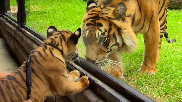 Cubs Meet Adult Tiger For The First Time - Tigers About The House - BBC