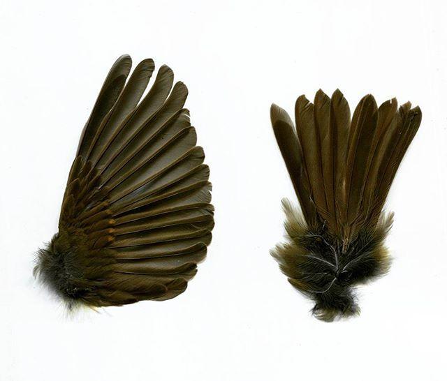 #Wing and #tail of European #Robin from @lynx_v. Thank you so much! :) #photo #feather #feathers #bluesofthefeather #feathercollection #featherscollection #feathercollector #birdfeather #birdfeathers #birdwing #deadbird #taxidermy #birdtaxidermy #collection #curio #curiosity #beautiful #nature #bird #birds #перо #перья #крылья #птица #птицы #таксидермия #коллекция