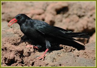 "AVIFAUNA CANARIA @ canary bird: CHOVA PIQUIRROJA ""Graja"" - Pyrrhocorax pyrrhocorax - (Linnaeus,1758) - Chough (Red-billed Chough)."