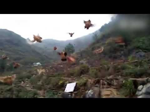 Can Chickens Fly ? SURE They can - YouTube