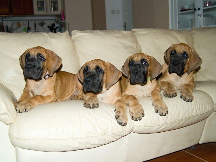 Bazarah, Bien, Boccaccio, Borsalino 8 weeks old