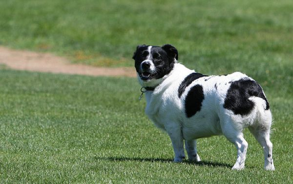 Corgi/Border Collie Mix: Border Collies, Labradoodle Bulldog, Corgi Boder Collie, Border Collie Mix, Collie Corgi Mix, Mini Friend, Border Collie Corgi, Corgi Border Collie