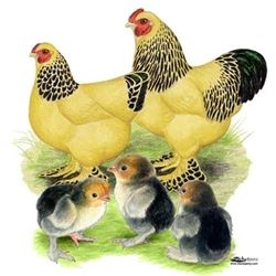 Buff Brahma Bantam Chicks for Sale, Buy Buff Brahma Bantam Chickens, Buff Brahma Chicken Picture Images