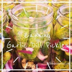 Crispy garlic dill pickles. Easy canning recipe--- livinlovinfarmin! #preservingtheharvest #growyourown