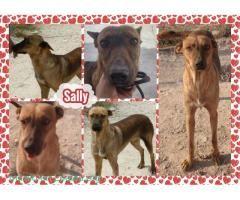 SALLY BUSCA FAMILIA  #Adopción #adopta #adoptanocompres #adoptar #LealesOrg  Contacto y info: Pulsar la foto o: https://leales.org/animales-en-adopcion/perros-en-adopcion/sally-busca-familia_i553 ℹ  Sally es una preciosa cruce de podenco hembra nació el01/01/2008 y está esterilizada. Fue rescatada hace varios años de la perrera y desde entonces sigue en la jaula de una residencia.. La pobre sigue sin suerte aunque ahora no tenga peligro de sacrificio.. vivir en una jaula año tras año.. no es…