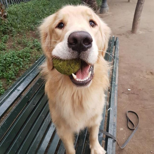 136 Best Images About Dog Toys For Golden Retrievers On